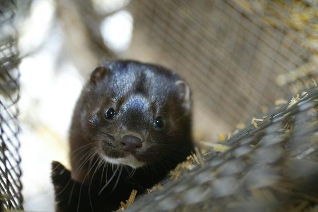 Mink farm workers in the south of the Netherlands were believed to have contracted the coronavirus f...