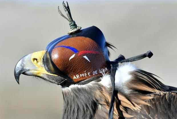 A D'Artagnan Royal Eagle trained in intercepting drones takes a rest at Air Force Base 118 in M...