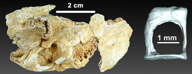 3-D reconstruction of the auditory ossicle of a two-year-old Neanderthal.