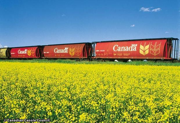 Canadian Canola field: In just a few decades  canola has become one of the world s most important oi...