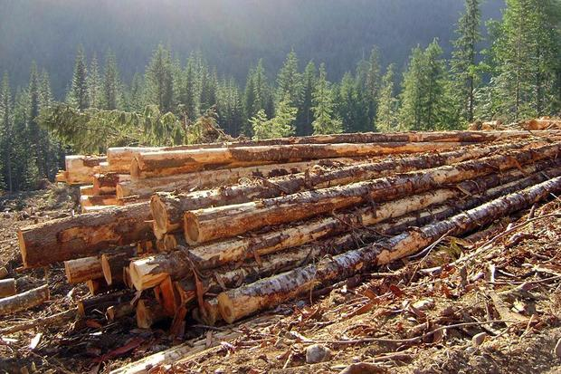 Canadian softwood lumber. — Photo: Fresh chunks of wood collected where they were growing  after 3...