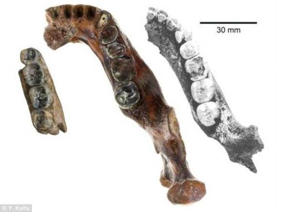 Large teeth of Pengh 1