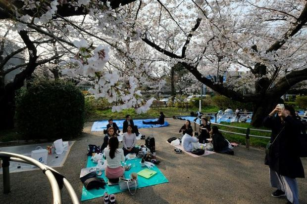 It is a Japanese tradition to eat and drink under the cherry trees