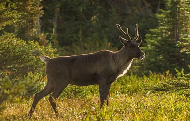 Jasper NP  Alberta  Canada. Caribou herds in Alberta are on Crown lands.