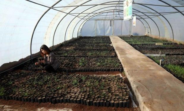 The oak seedlings growing in an Arbil greenhouse will be re-planted in mountains selected by the Kur...