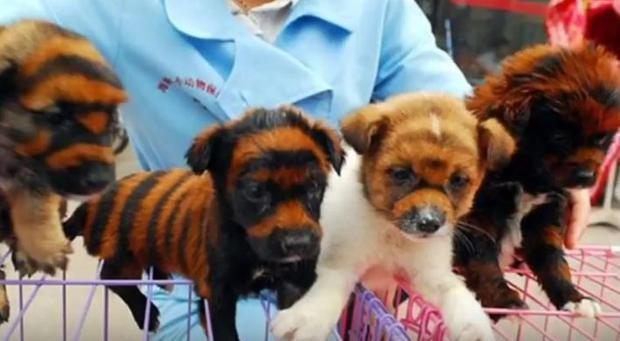 Chinese vendors dye their cute puppies to look just like tiger cubs… only for them to die painfull...