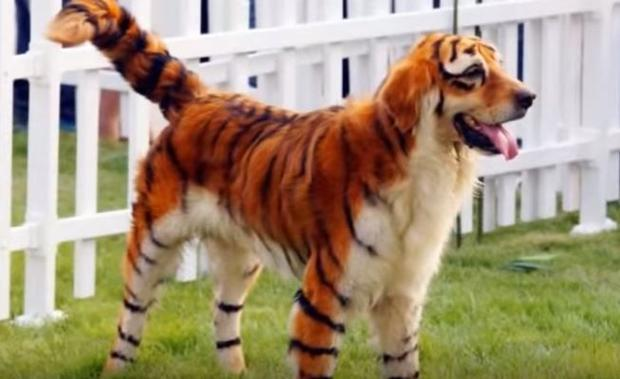 In 2010  the Year of the Tiger  a series of pictures showing orange puppies with black stripes cause...