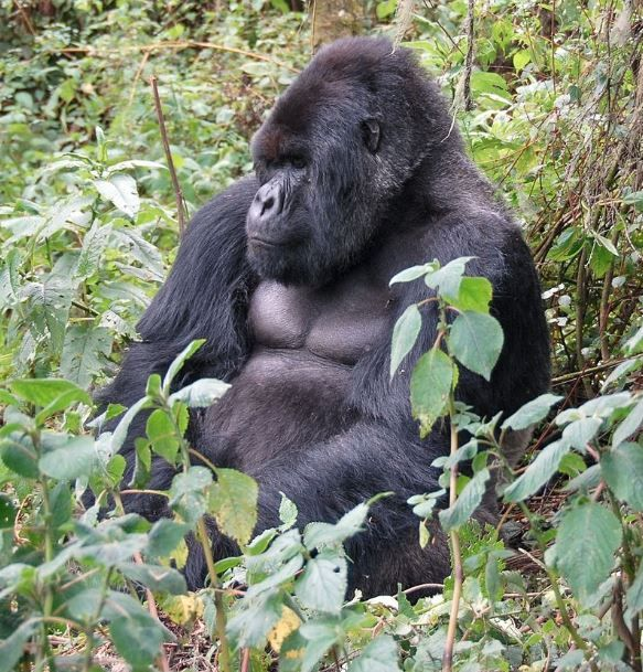 Adult male Mountain Gorilla (Gorilla beringei beringei) from the Susa Group. Photo taken on March 20...