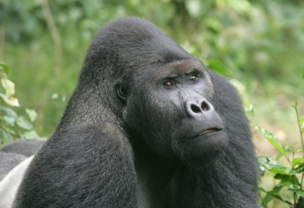 Eastern Lowland Gorilla (Gorilla beringei graueri) Adult male (silverback) given name - Ciminuka. Ka...
