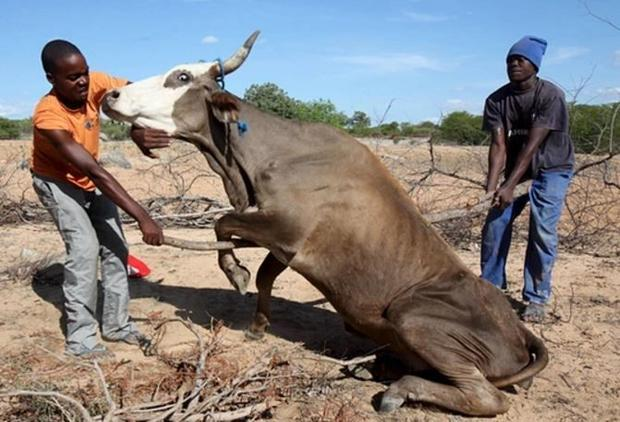 In Zimbabwe  humans and livestock are starving.